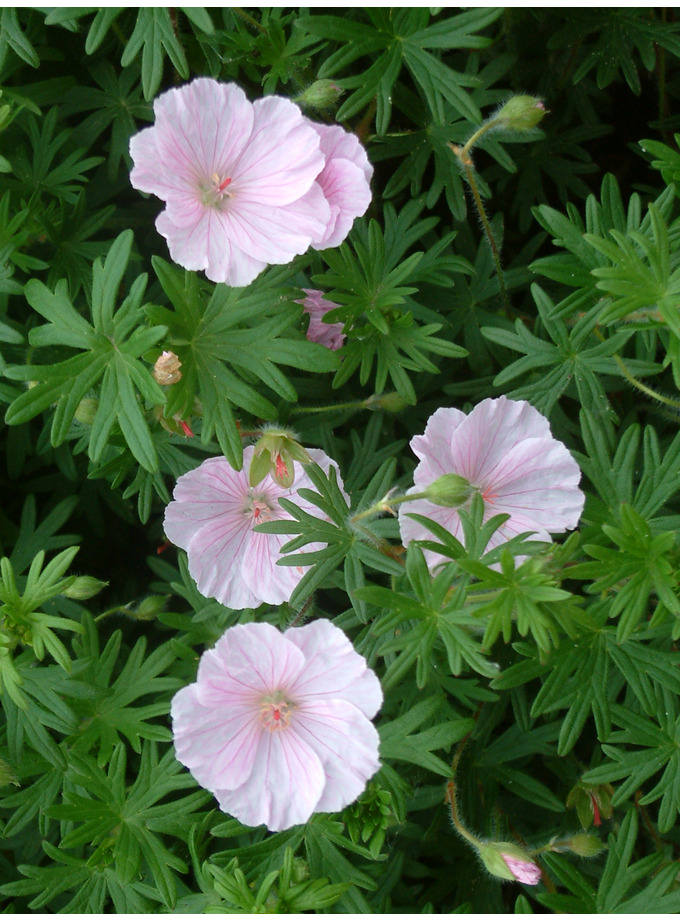 geranium sanguineum striatum the beth chatto gardens. Black Bedroom Furniture Sets. Home Design Ideas