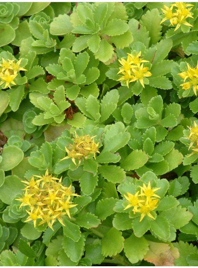 S z sedum the beth chatto gardens sedum spurium green mantle mightylinksfo