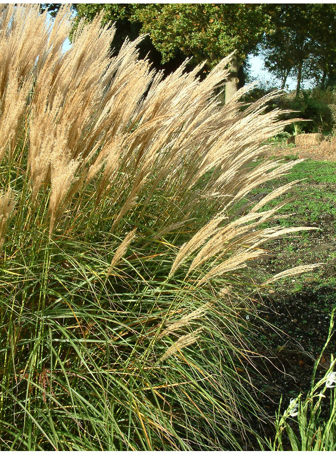 miscanthus sinensis 39 undine 39 the beth chatto gardens. Black Bedroom Furniture Sets. Home Design Ideas