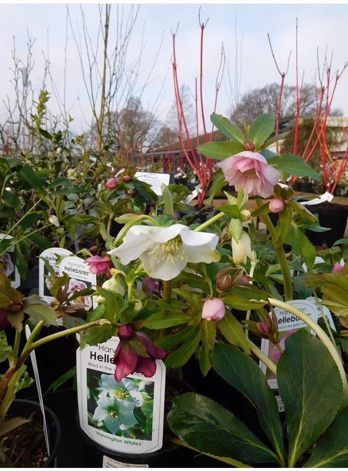 Helleborus x hybridus 'Harvington Doubles' 2 Litre