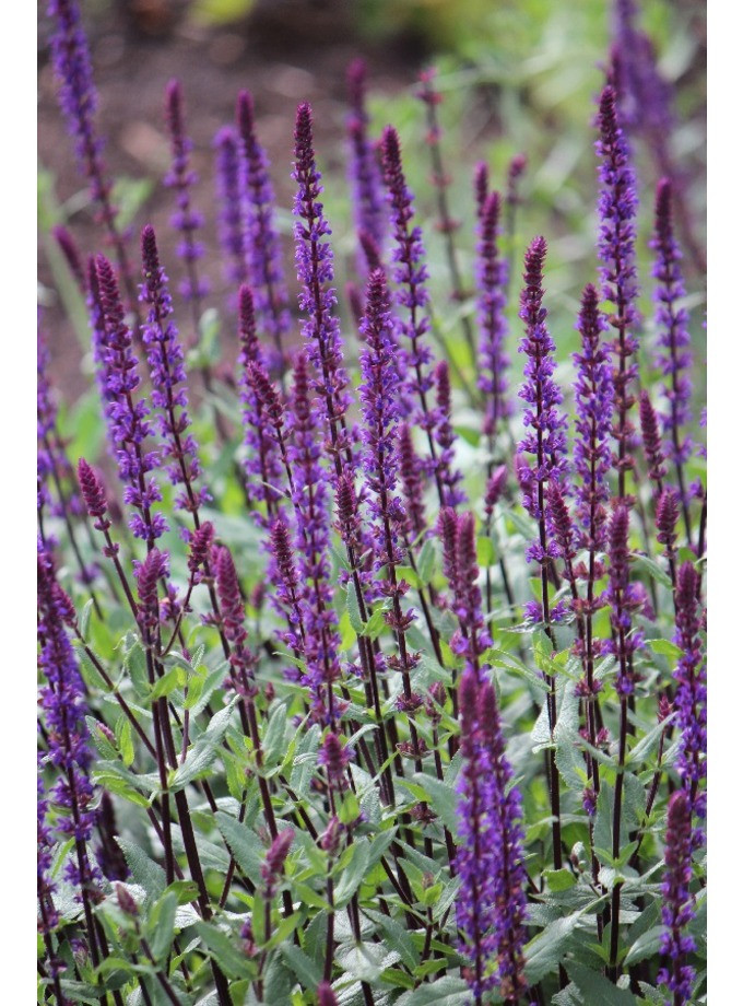 salvia nemorosa 39 caradonna 39 the beth chatto gardens. Black Bedroom Furniture Sets. Home Design Ideas